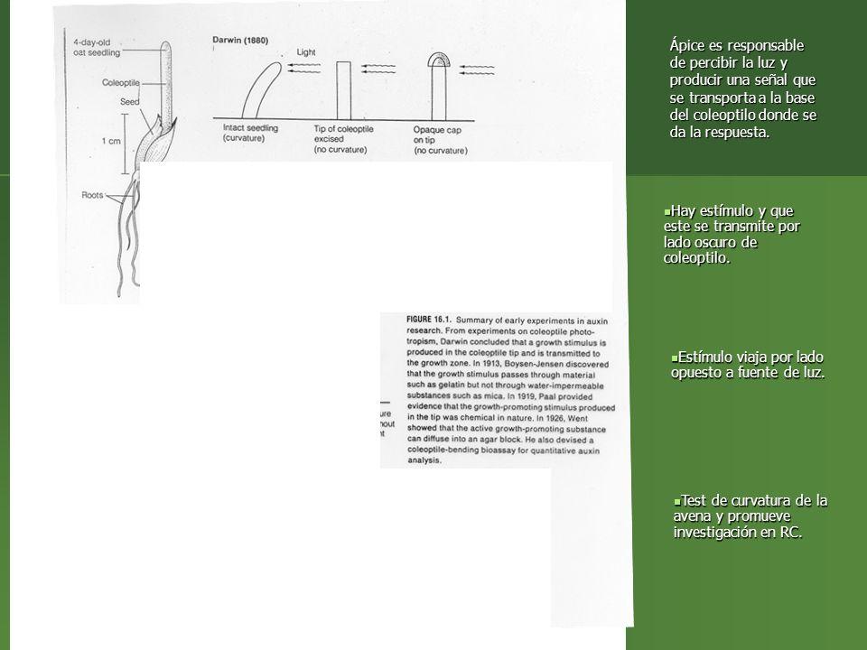Ápice es responsable de percibir la luz y producir una señal que se transporta a la base del coleoptilo donde se da la respuesta.
