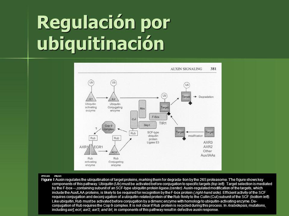 Regulación por ubiquitinación