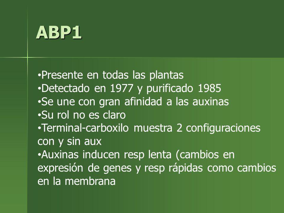 ABP1 Presente en todas las plantas Detectado en 1977 y purificado 1985