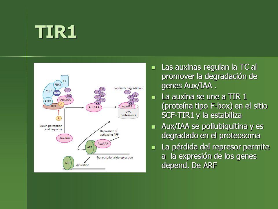 TIR1 Las auxinas regulan la TC al promover la degradación de genes Aux/IAA .