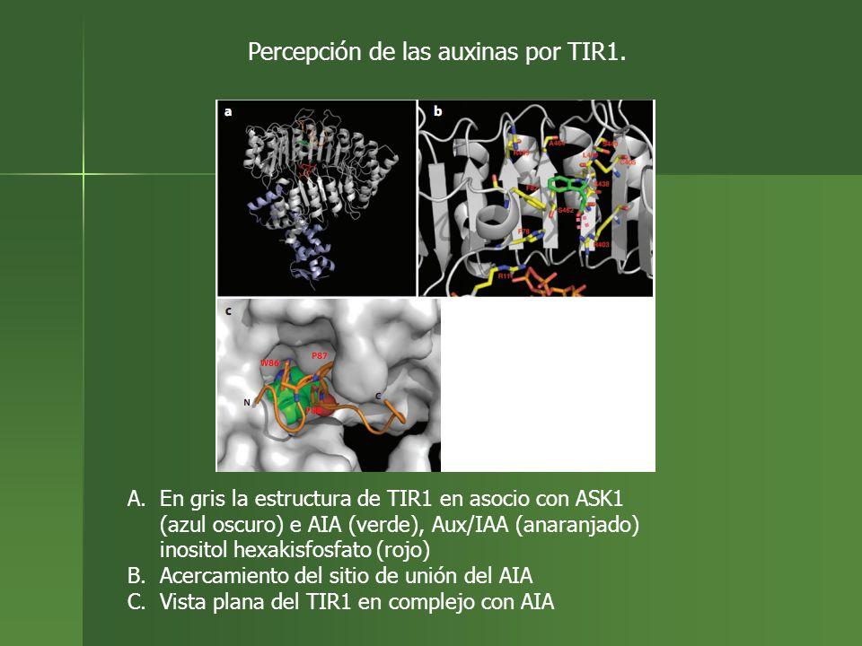 Percepción de las auxinas por TIR1.
