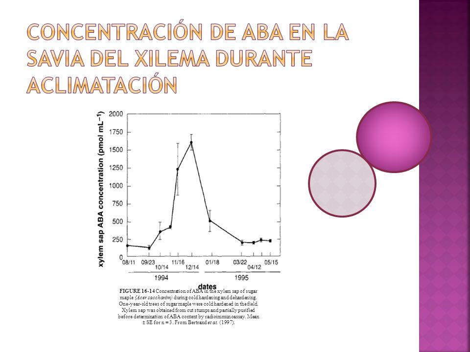 Concentración de ABA en la savia del xilema durante aclimatación