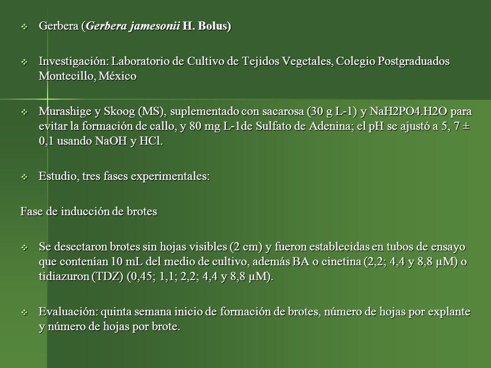 Gerbera (Gerbera jamesonii H. Bolus)
