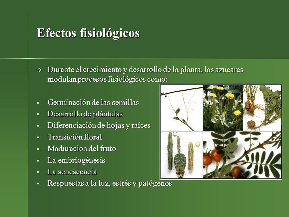 Efectos fisiológicos Durante el crecimiento y desarrollo de la planta, los azúcares modulan procesos fisiológicos como: