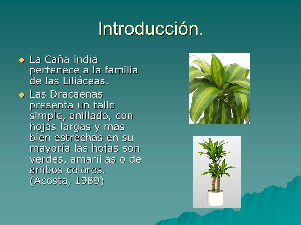 Introducción. La Caña india pertenece a la familia de las Liliáceas.