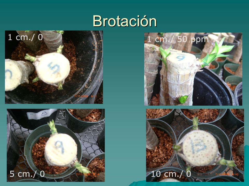 Brotación 1 cm./ 0 1 cm./ 50 ppm 5 cm./ 0 10 cm./ 0
