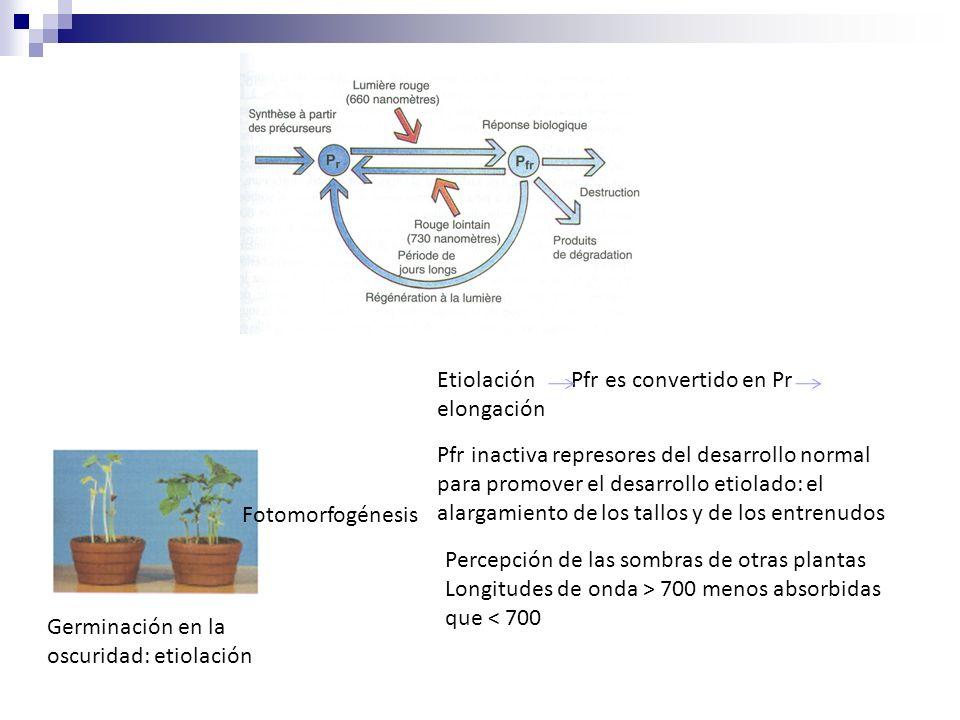 Etiolación Pfr es convertido en Pr elongación