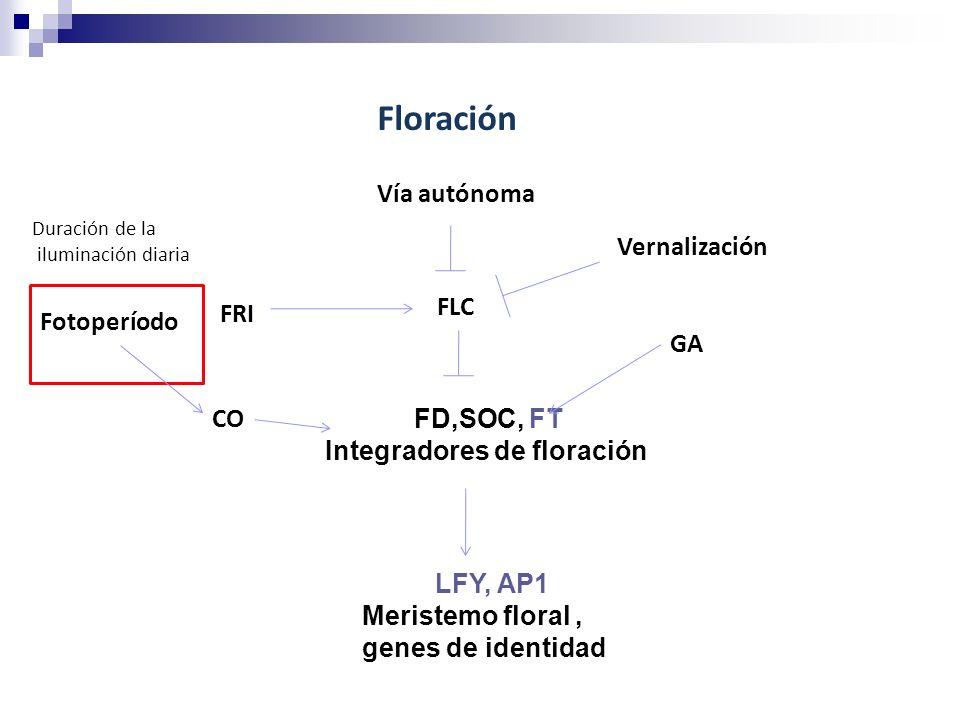 Floración Vía autónoma Vernalización FLC FRI Fotoperíodo GA CO