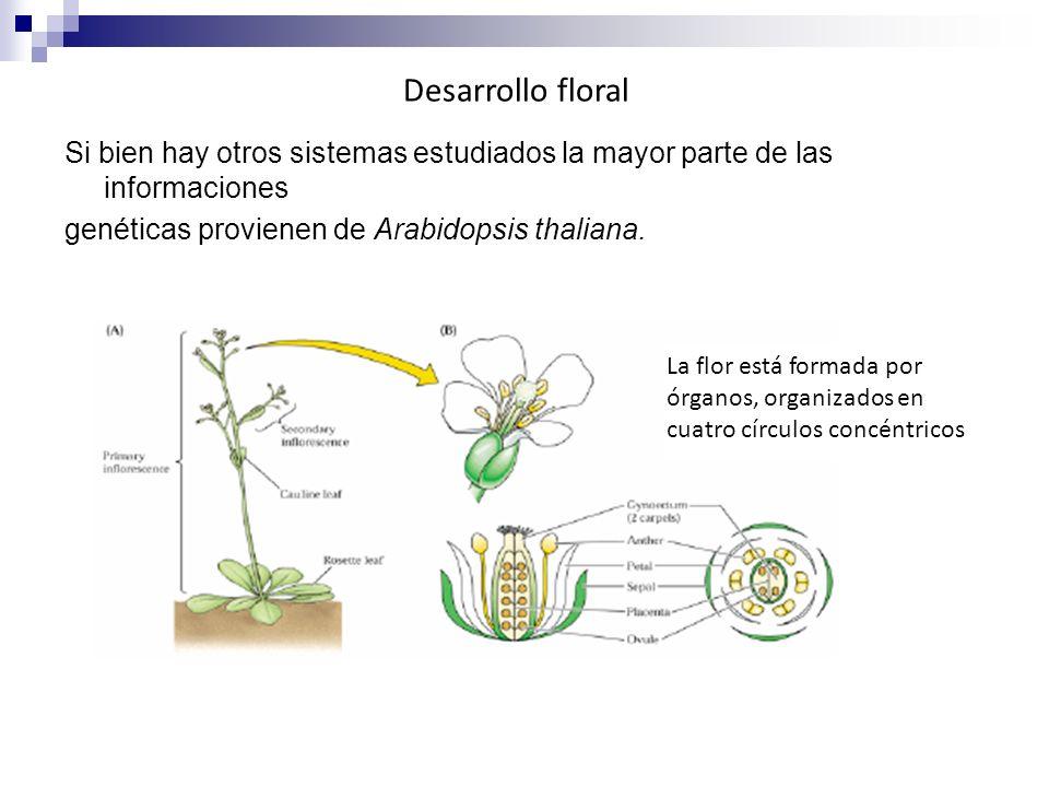 Desarrollo floral Si bien hay otros sistemas estudiados la mayor parte de las informaciones genéticas provienen de Arabidopsis thaliana.