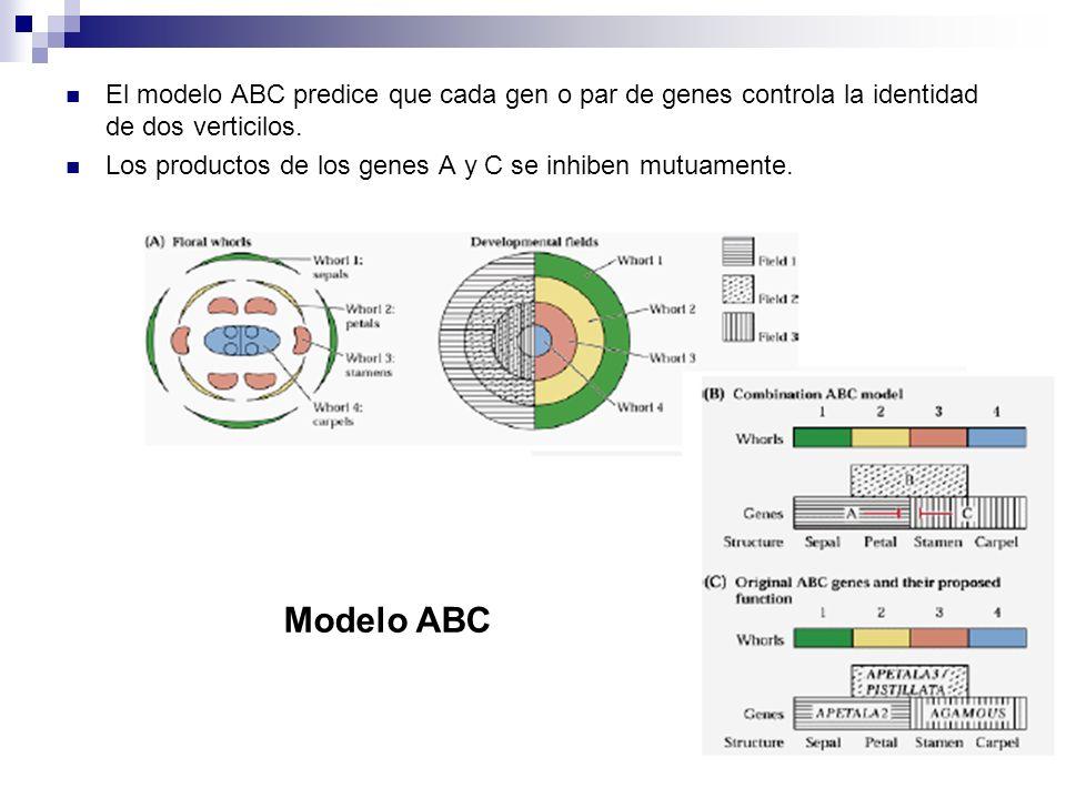 El modelo ABC predice que cada gen o par de genes controla la identidad de dos verticilos.