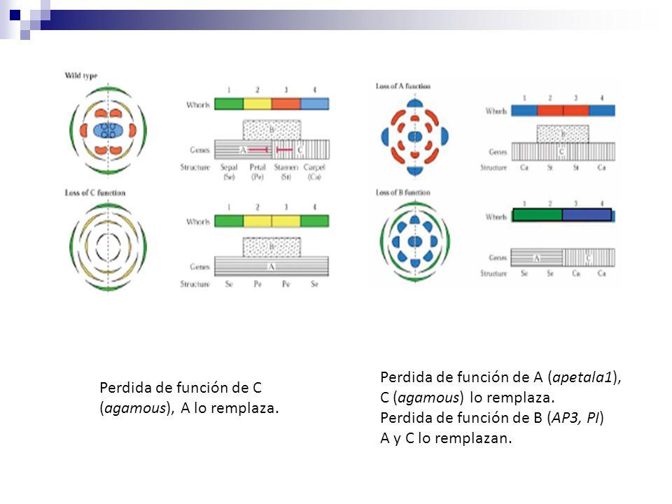 Perdida de función de A (apetala1),