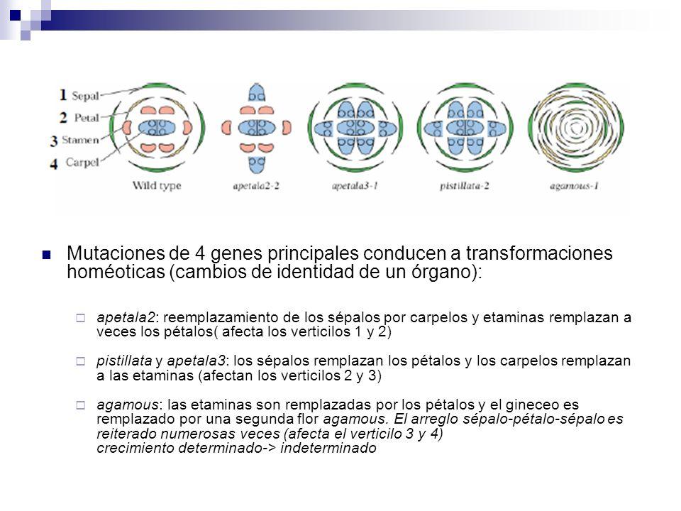 Mutaciones de 4 genes principales conducen a transformaciones