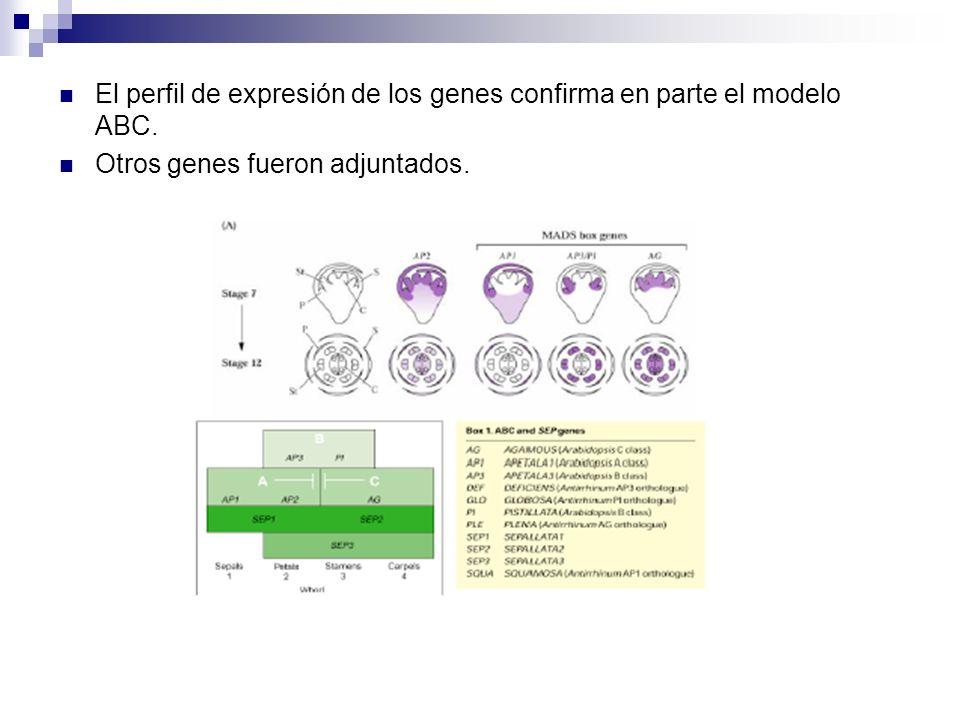 El perfil de expresión de los genes confirma en parte el modelo ABC.