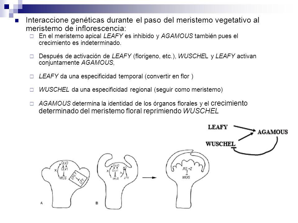 Interaccione genéticas durante el paso del meristemo vegetativo al