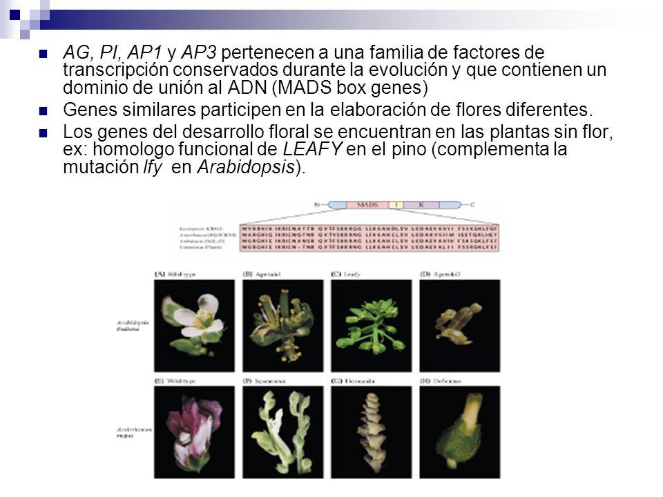 AG, PI, AP1 y AP3 pertenecen a una familia de factores de transcripción conservados durante la evolución y que contienen un dominio de unión al ADN (MADS box genes)