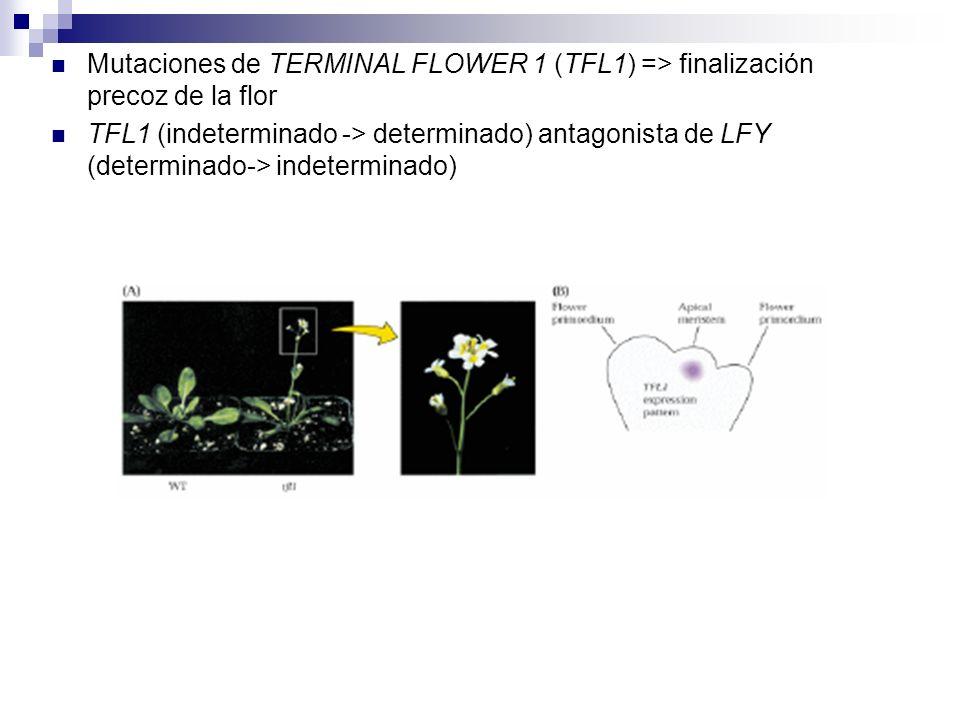 Mutaciones de TERMINAL FLOWER 1 (TFL1) => finalización precoz de la flor