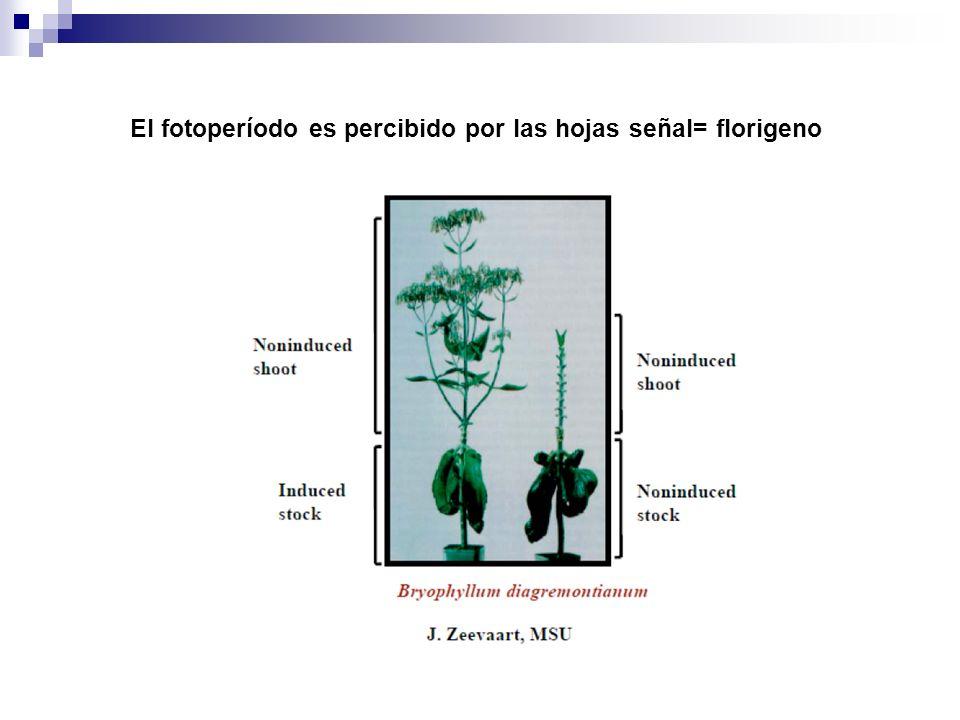 El fotoperíodo es percibido por las hojas señal= florigeno