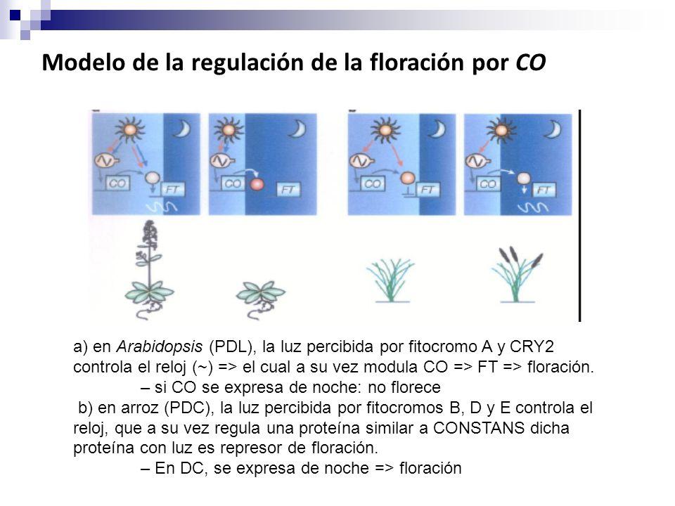 Modelo de la regulación de la floración por CO