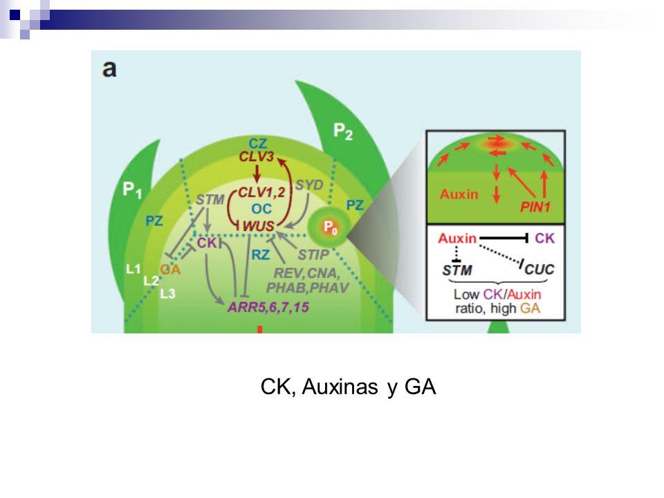 CK, Auxinas y GA
