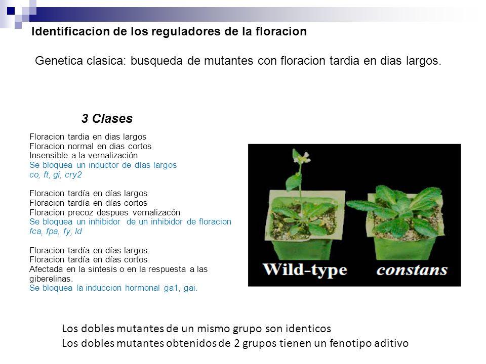 Identificacion de los reguladores de la floracion Genetica clasica: busqueda de mutantes con floracion tardia en dias largos.