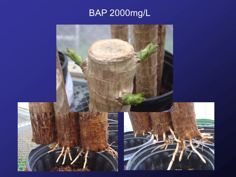 BAP 2000mg/L