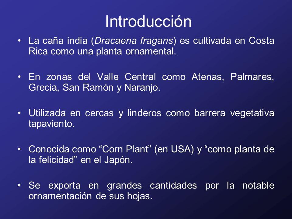 Introducción La caña india (Dracaena fragans) es cultivada en Costa Rica como una planta ornamental.