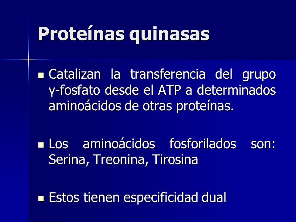 Proteínas quinasas Catalizan la transferencia del grupo γ-fosfato desde el ATP a determinados aminoácidos de otras proteínas.
