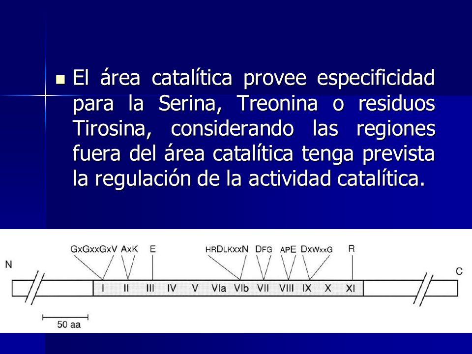 El área catalítica provee especificidad para la Serina, Treonina o residuos Tirosina, considerando las regiones fuera del área catalítica tenga prevista la regulación de la actividad catalítica.