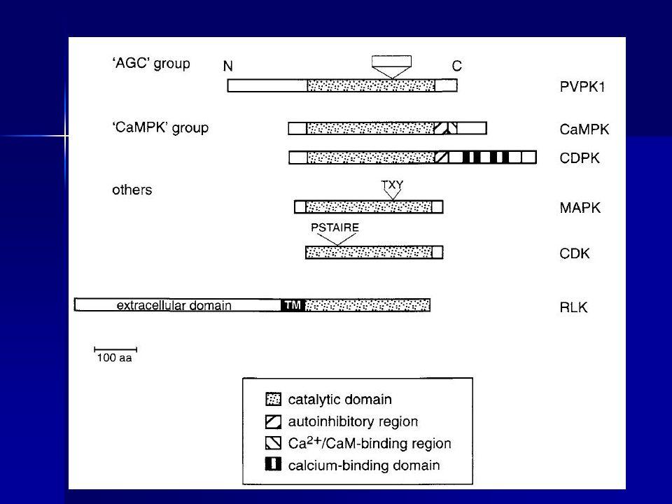 Grupo AGC de proteinas quinasas