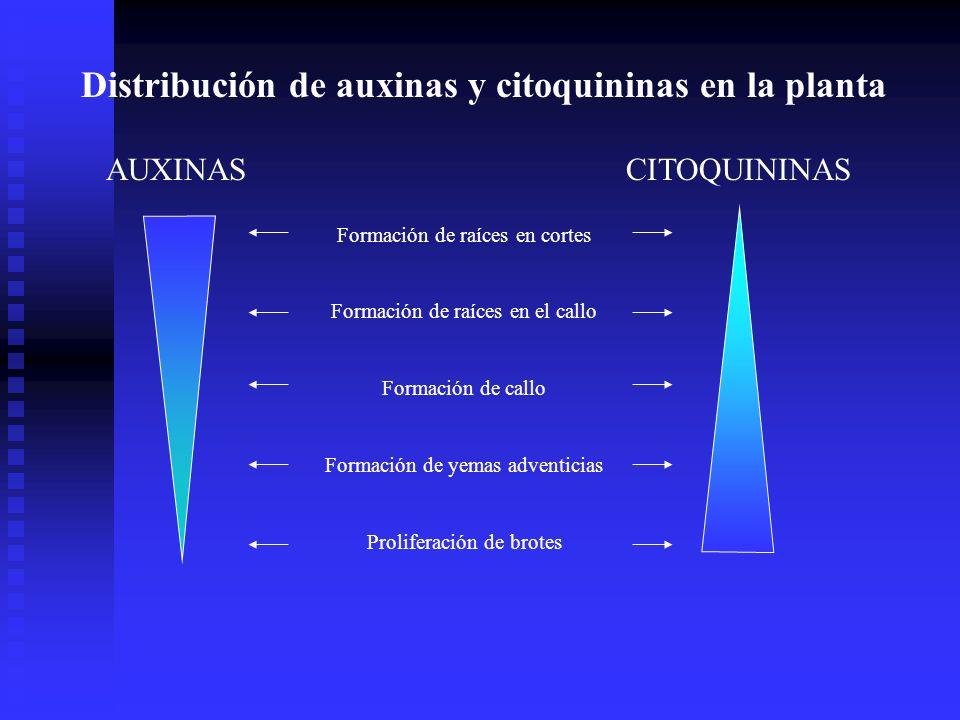 Distribución de auxinas y citoquininas en la planta