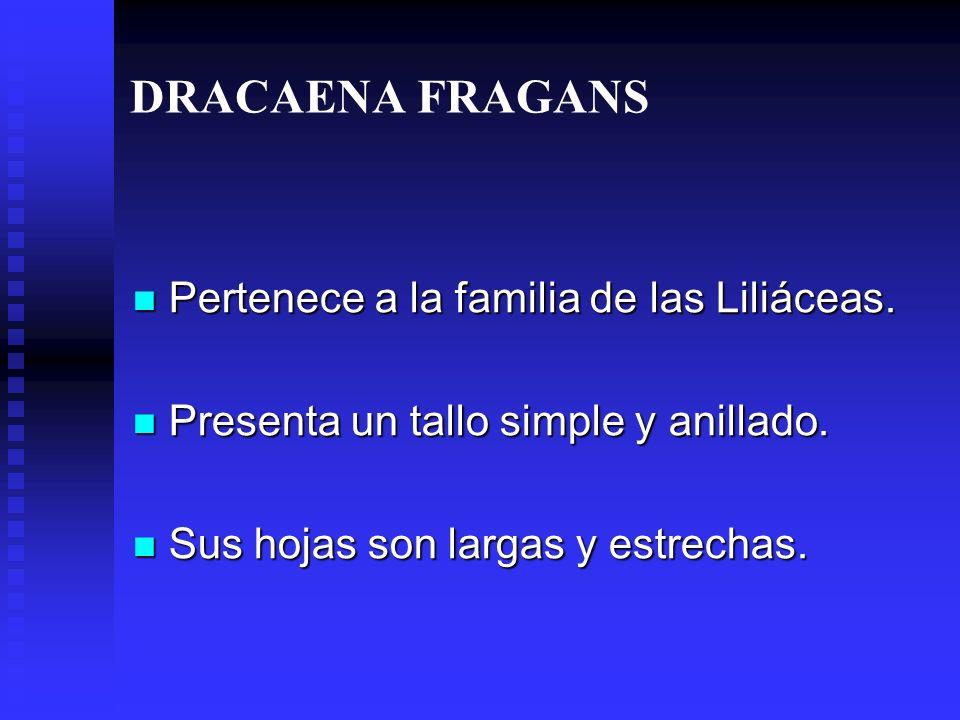 DRACAENA FRAGANS Pertenece a la familia de las Liliáceas.