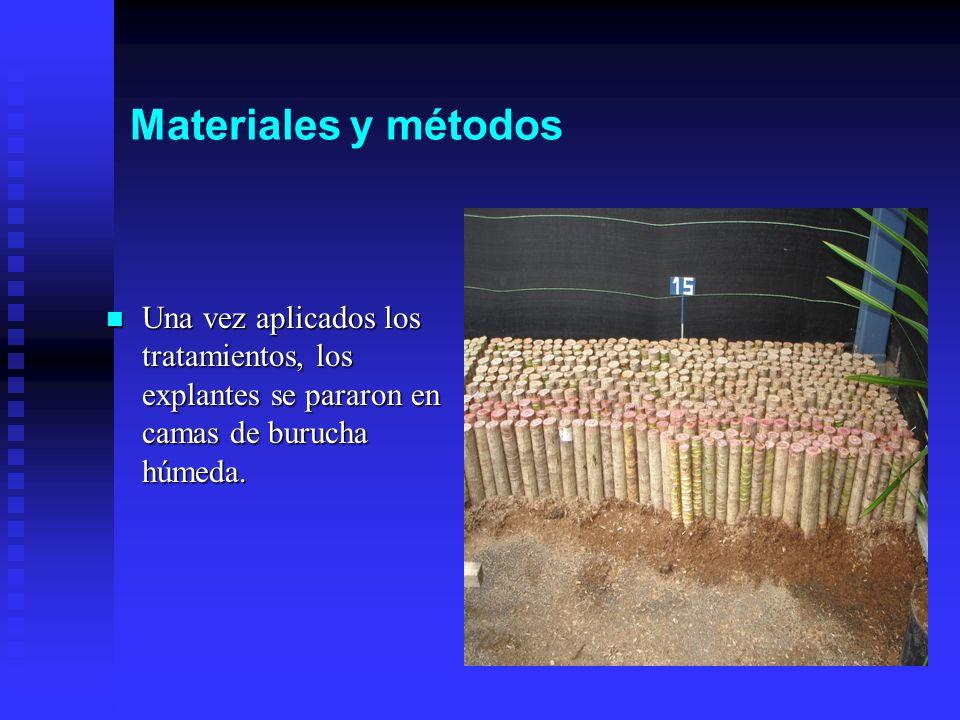 Materiales y métodos Una vez aplicados los tratamientos, los explantes se pararon en camas de burucha húmeda.