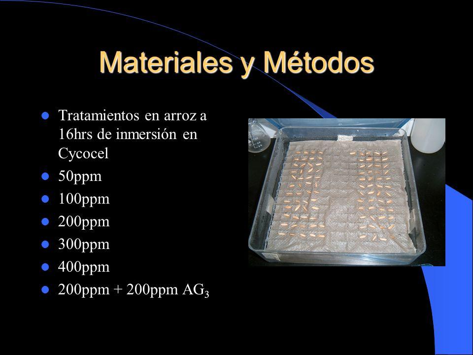 Materiales y Métodos Tratamientos en arroz a 16hrs de inmersión en Cycocel. 50ppm. 100ppm. 200ppm.