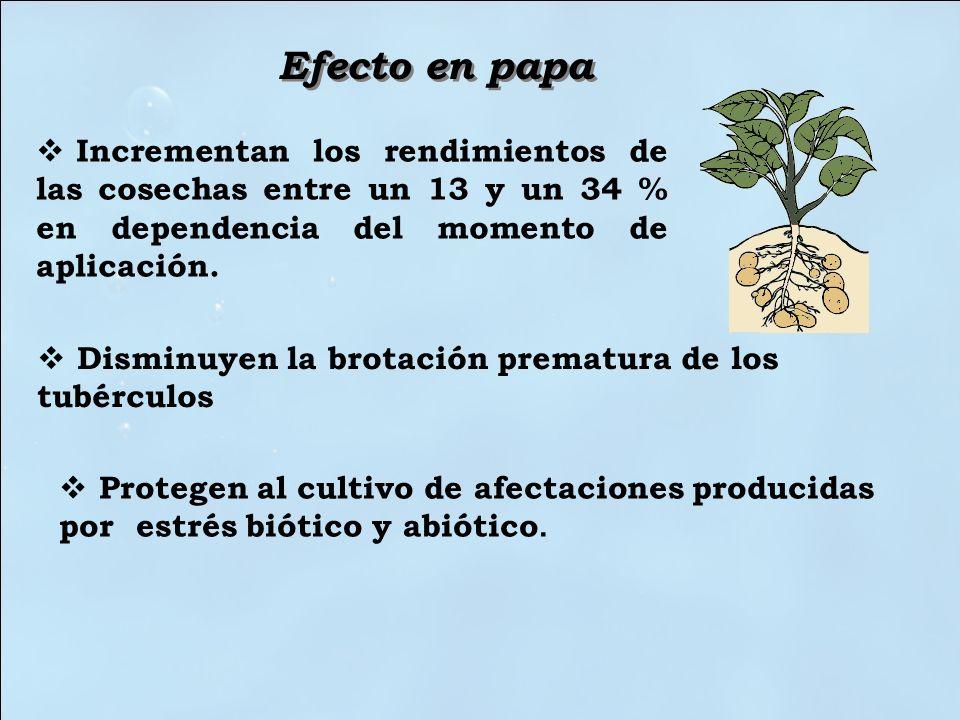 Efecto en papa Incrementan los rendimientos de las cosechas entre un 13 y un 34 % en dependencia del momento de aplicación.
