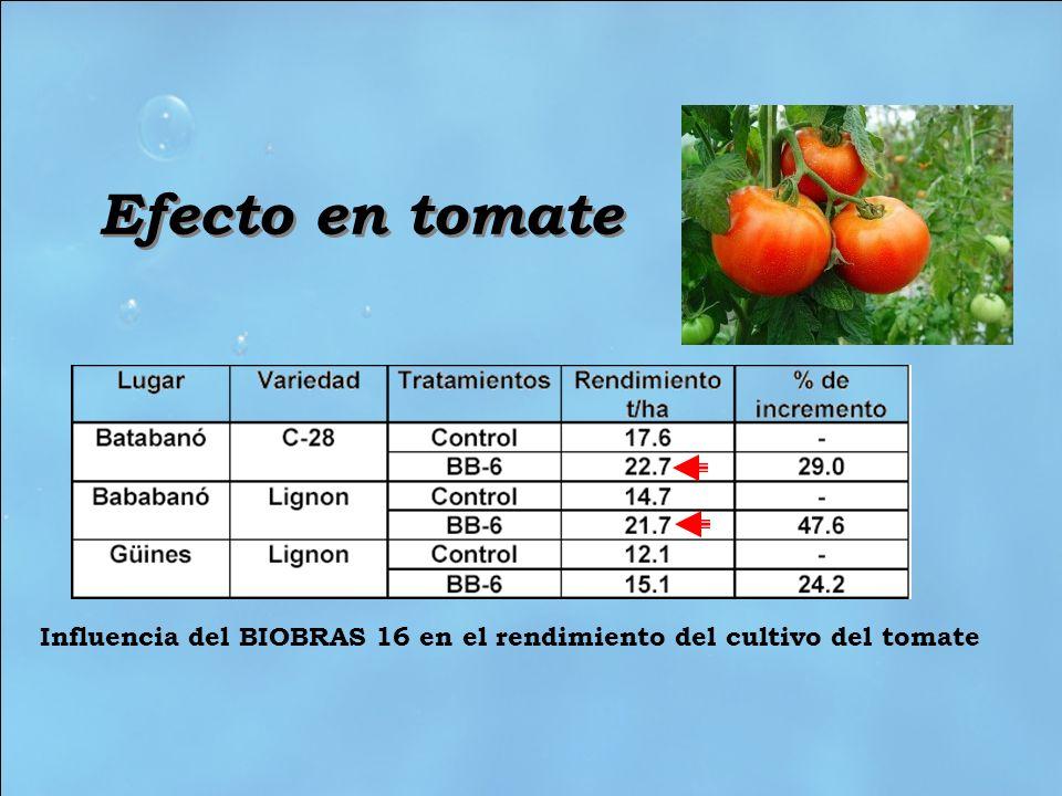 Efecto en tomate Influencia del BIOBRAS 16 en el rendimiento del cultivo del tomate