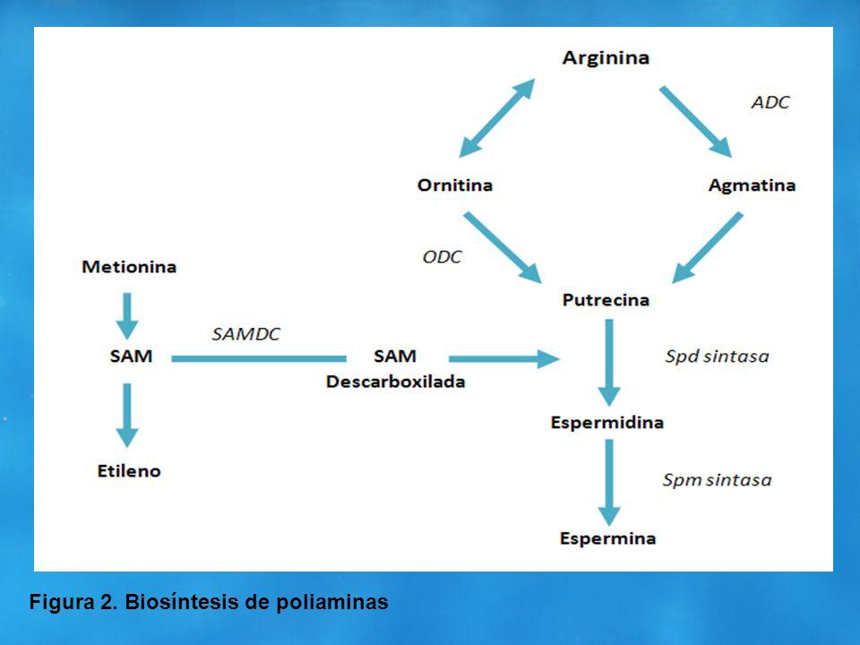 Figura 2. Biosíntesis de poliaminas