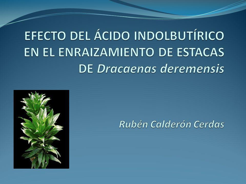 EFECTO DEL ÁCIDO INDOLBUTÍRICO EN EL ENRAIZAMIENTO DE ESTACAS DE Dracaenas deremensis Rubén Calderón Cerdas