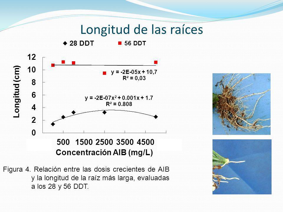 Longitud de las raíces Figura 4.