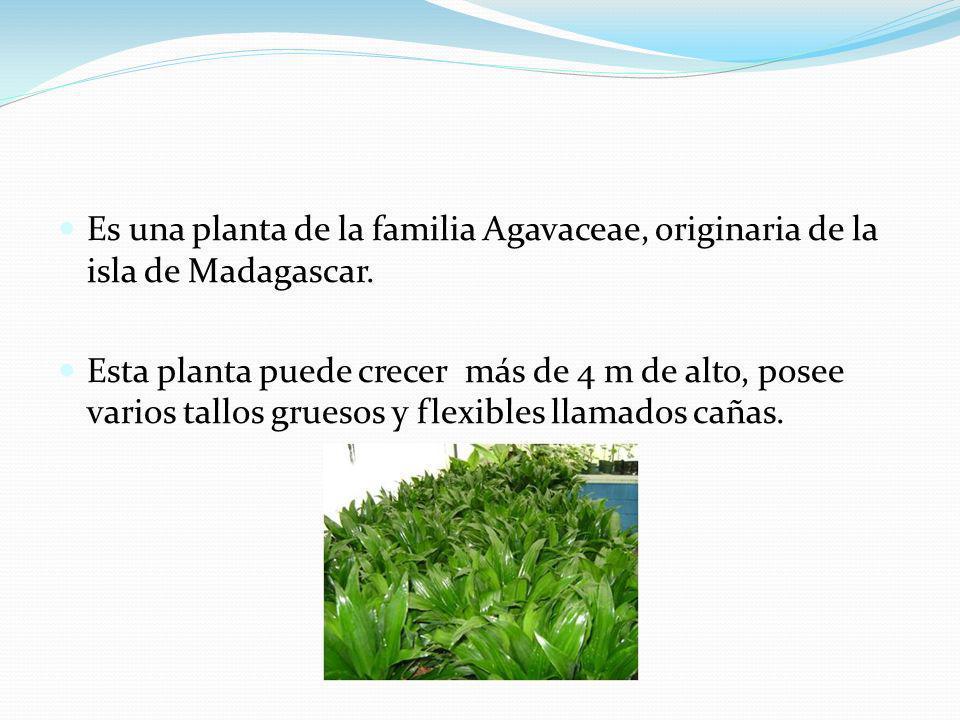 Es una planta de la familia Agavaceae, originaria de la isla de Madagascar.