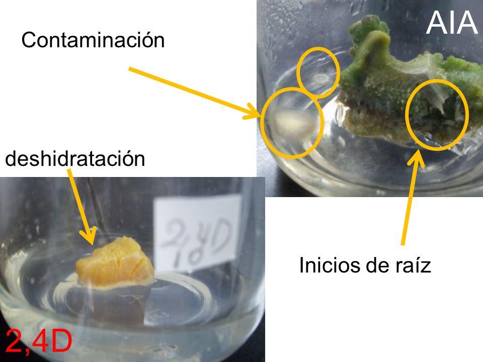 AIA 2,4D Contaminación deshidratación Inicios de raíz