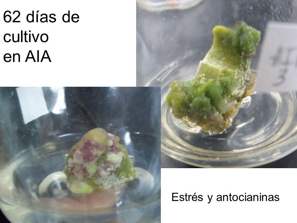 62 días de cultivo en AIA Estrés y antocianinas