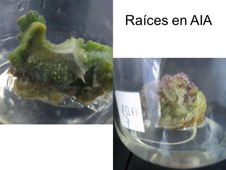 Raíces en AIA 2,4 induce formación de células desordenadas osea callo