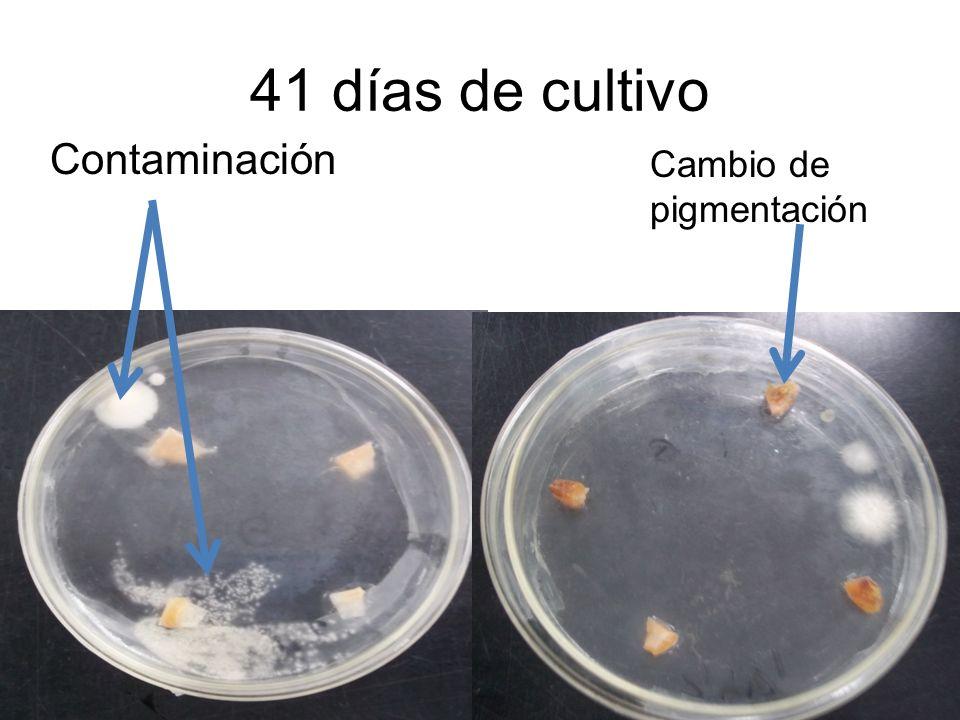 41 días de cultivo Contaminación Cambio de pigmentación