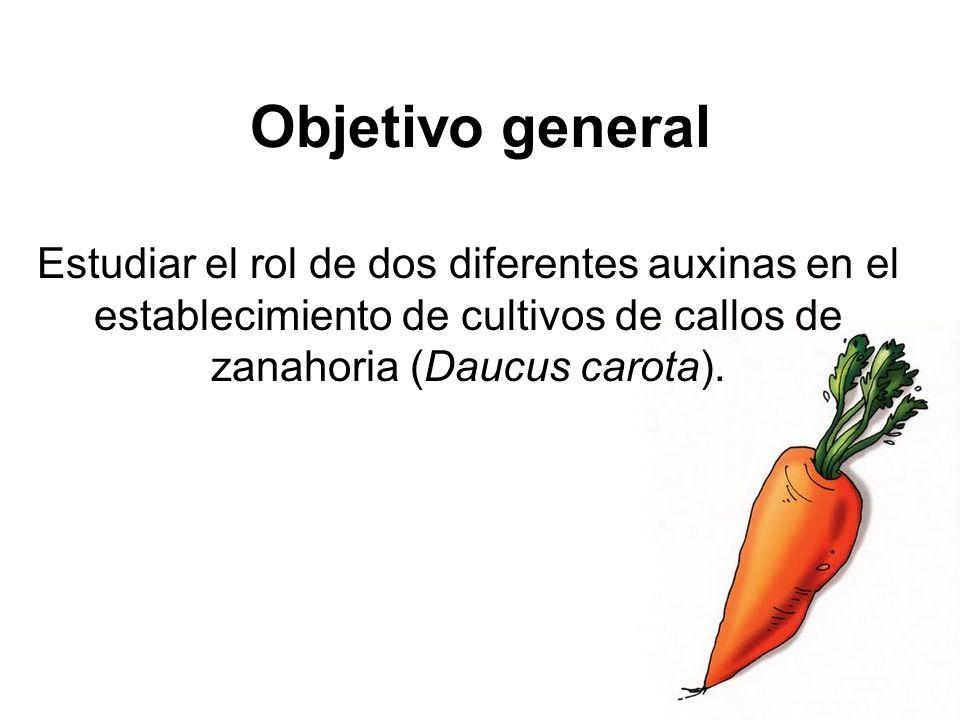 Objetivo general Estudiar el rol de dos diferentes auxinas en el establecimiento de cultivos de callos de zanahoria (Daucus carota).