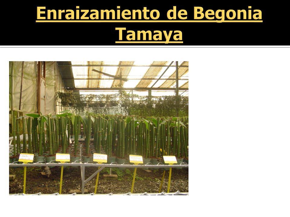 Enraizamiento de Begonia Tamaya