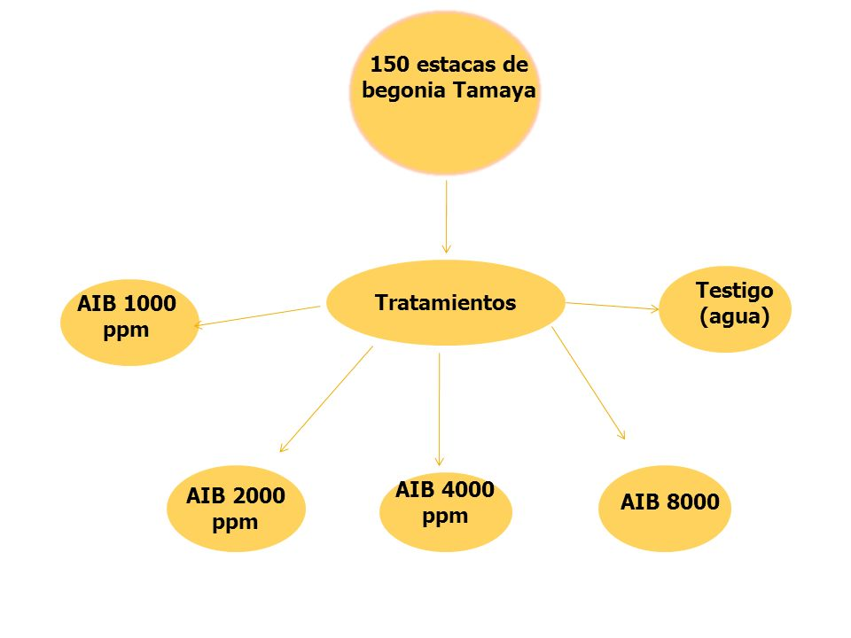 150 estacas de begonia Tamaya
