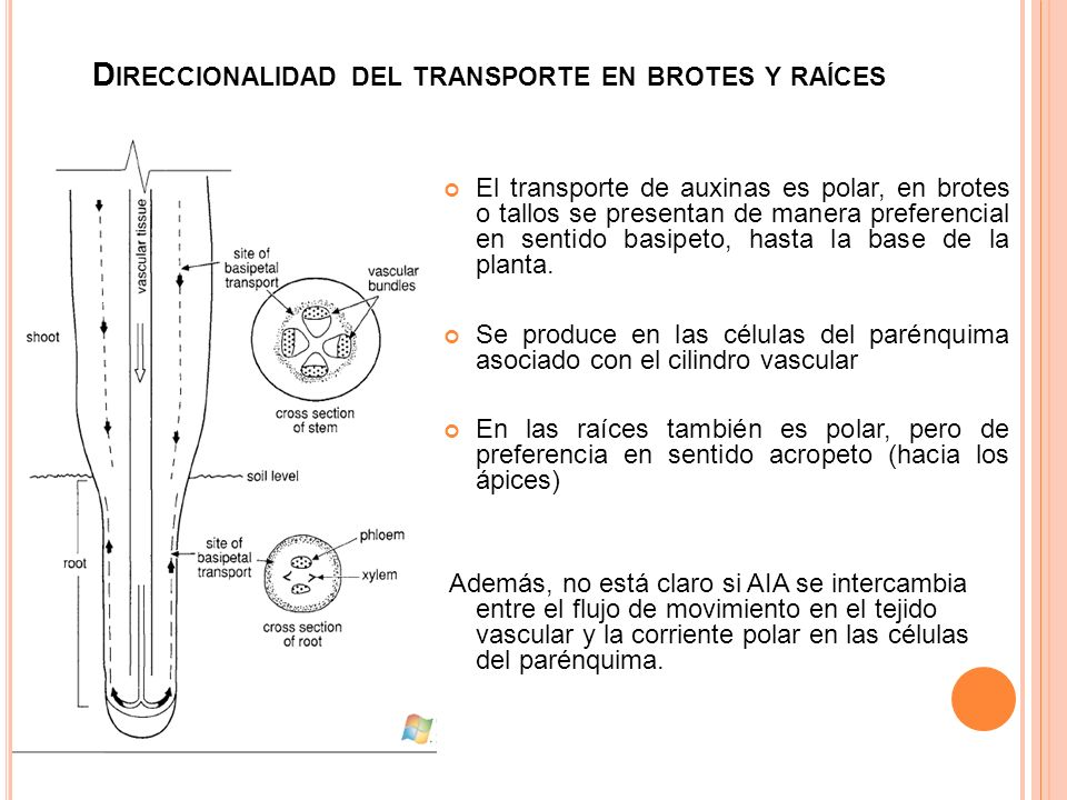 Direccionalidad del transporte en brotes y raíces