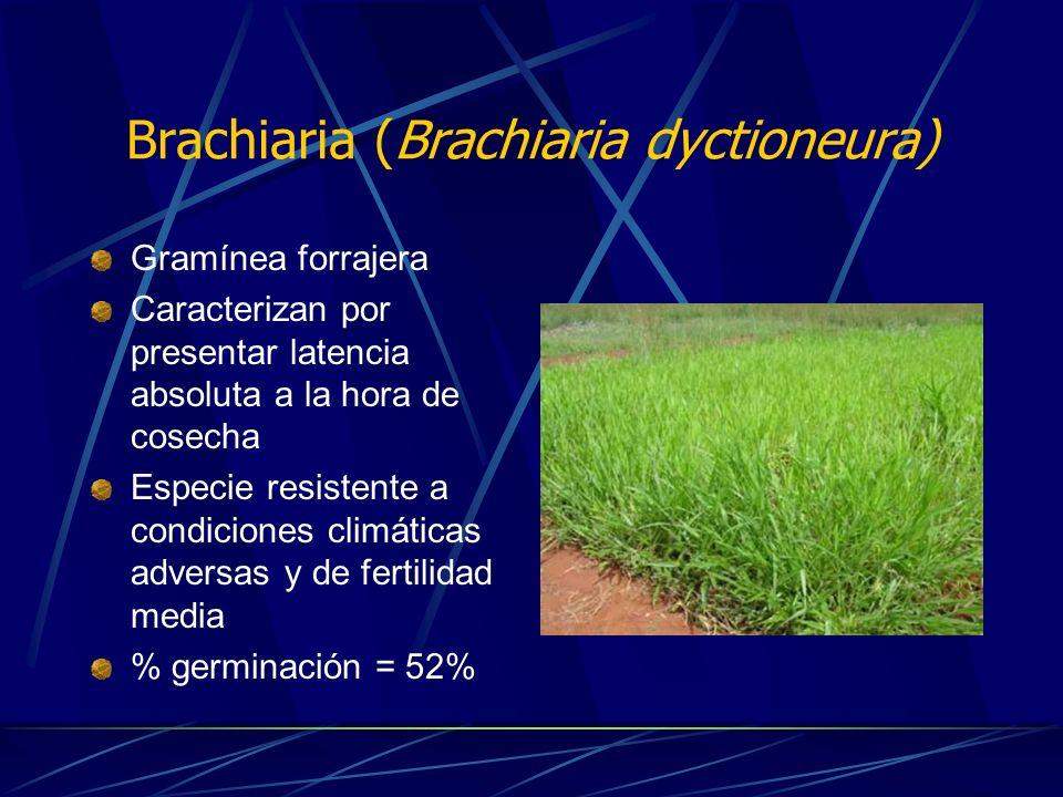 Brachiaria (Brachiaria dyctioneura)