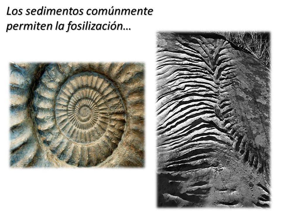 Los sedimentos comúnmente permiten la fosilización…