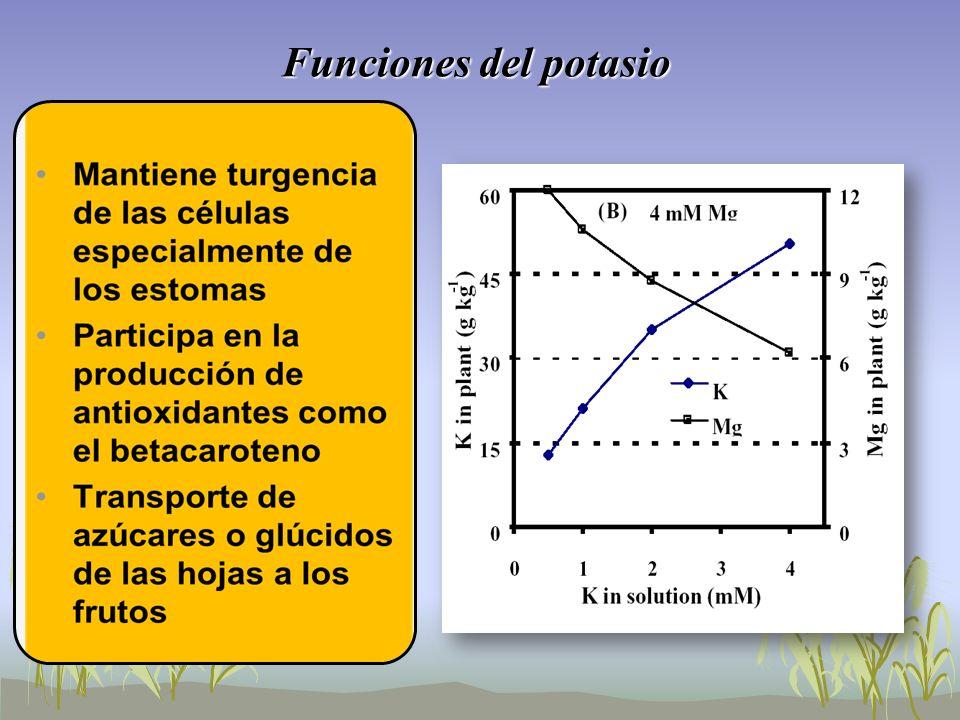 Funciones del potasio